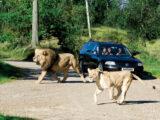 Løveparken i Givskud Zoo