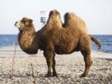 Kamel på Bellevue Strand (Foto: Martin Frøland)