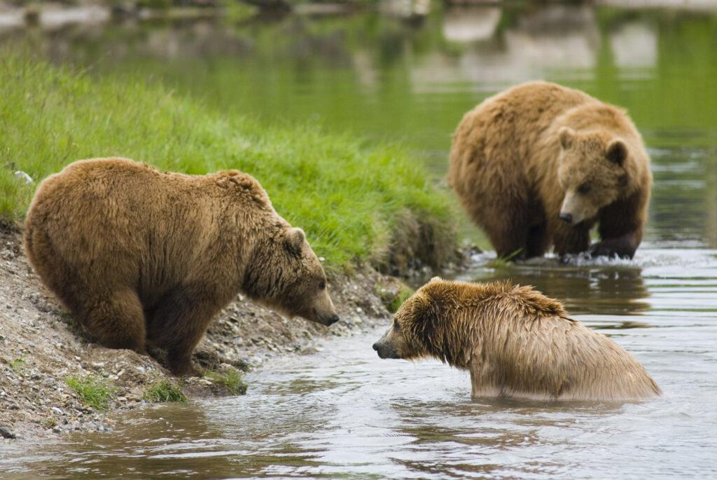 Brunbjørn i Skandinavisk Dyrepark (Foto: Skandinavisk Dyrepark)