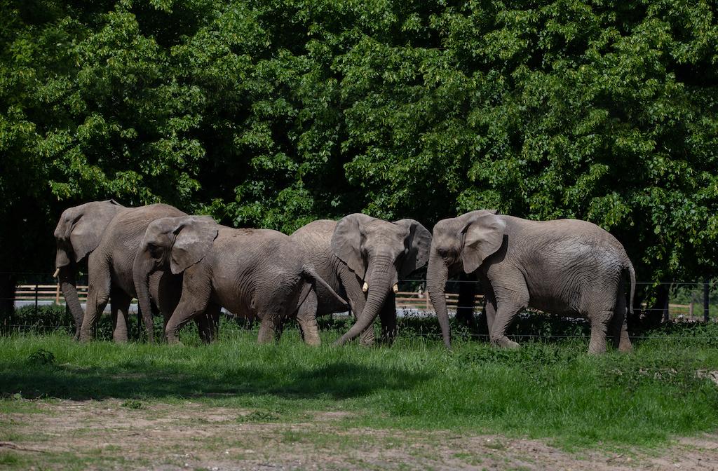 Elefanter i Knuthenborg SafariPark