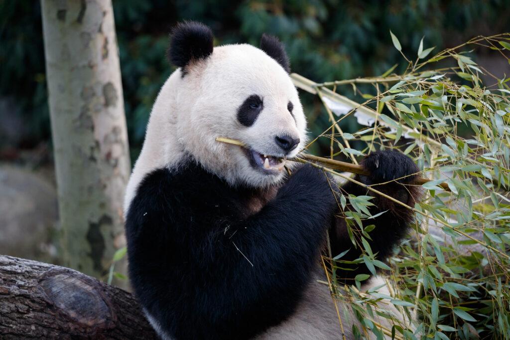 Panda I København ZOO (Foto: Frank Rønsholt)