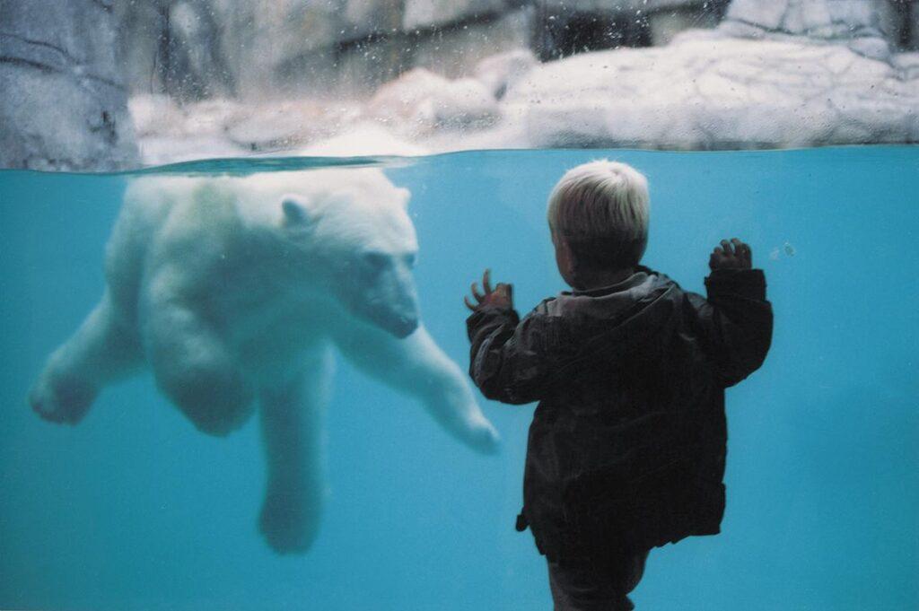 Isbørn i Aalborg Zoo (Foto: Allborg Zoo)