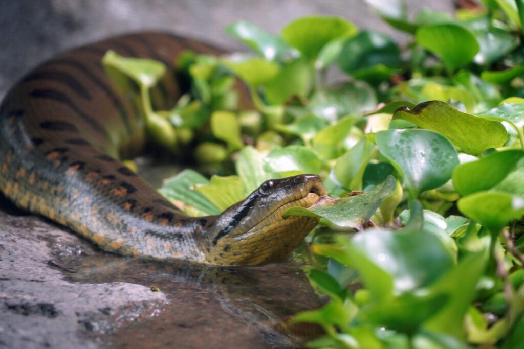 Verdens største slange i odense Zoo (Foto: Odense Zoo)