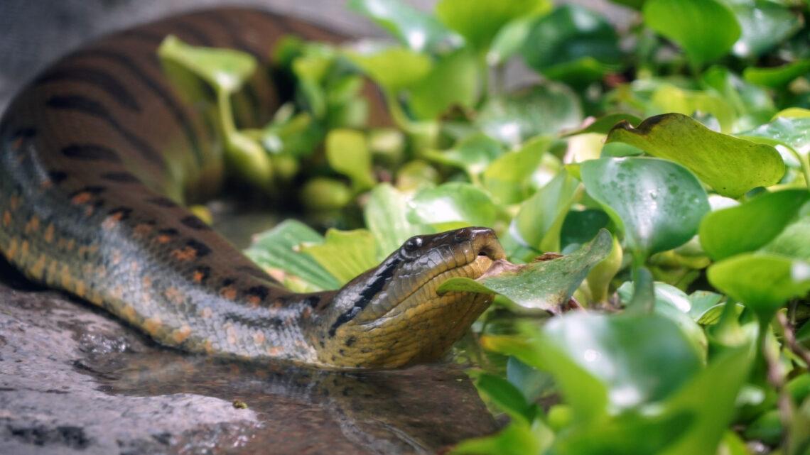 Oplev verdens største slange