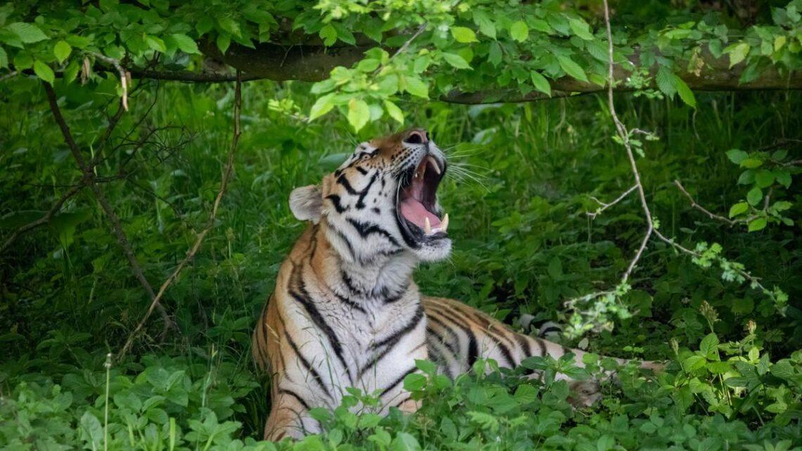Åbning af Tigerskoven i Knuthenborg Safaripark