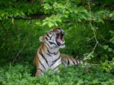 Åbning af nyt tigeranlæg i Knuthenborg Safaripark (Foto: Asger Thielsen