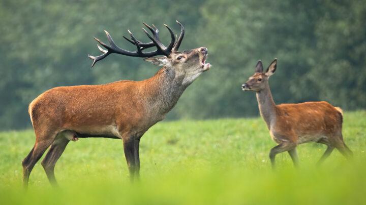 Oplev naturen: Kronhjortens brøl
